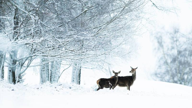 Photographie biche et son hère en forêt de foix ariège pyrénées